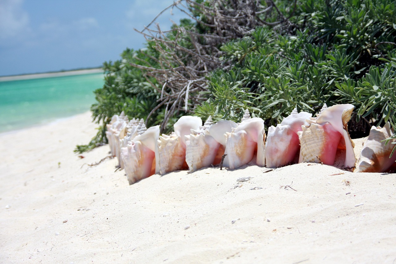 Royal Conch
